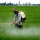 Rice spraying in Vietnam