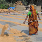 Rice worker in
