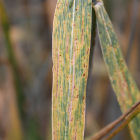 Wheat showing stem rust symptoms