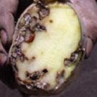 Big potato moths