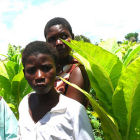 Children in a tobacco field