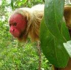 A bald uakari monkey in Brazil