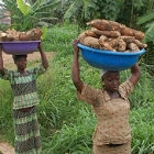 Women harvesting cassava