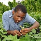 Researcher inspecting cowpea