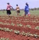 Tending Bt cotton in Mpumalanga, South Africa