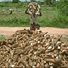 Cassava farmer and harvest
