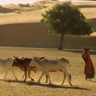 cattleherdingDesertIndia_Hnull