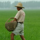 Farmer spreading fertiliser on rice field