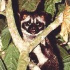 <I>Paradoxurus hermaphroditus</I> (Common palm civet), Malaysia 
