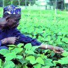 Cowpea farmer