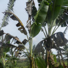 Canopy of banana or plantain, Uganda