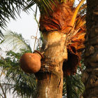 Jar collecting date palm sap