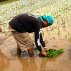 Farmer transplanting rice