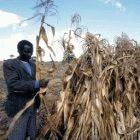 Fertiliser trees should increase productivity of maize crops in Malawi