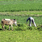 Farming in Egypt