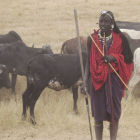 Maasai with cattle