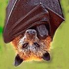 Food dropped by fruit bats like this flying fox could be spreading viruses to people