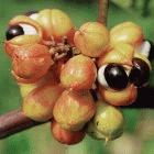 Medicinal products derived from Brazil's guarana plant (<I>Paullinia cupania</I>) have been patented in the United States