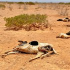 Carcasses of dead sheep and goats in Somaliland