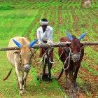 An Indian farmer with plough