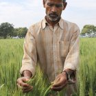 An Indian wheat farmer