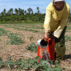 Woman irrigating lemon crop, Philippines