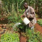 Kenyan farmer watering tree seedlings