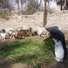 Libyan farmer feeding animals