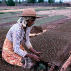 Woman planting crops, Madagascar