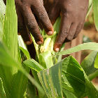 Examining diseased maize