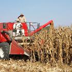 Cosecha de maíz en México