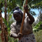 Malawian farmer preparing maize plot