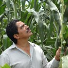 Mexican agricultural scientist inspecting experimental maize plot