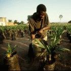 Watering oil palms at a research station in Malawi