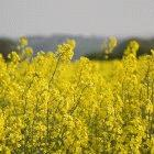 Biodiesel can be produced from oil crops like rapeseed