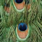 Tiny structures on peacock feathers are an example of natural nanomaterials, says Abdul