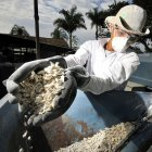 Processing biofortied cassava in Colombia