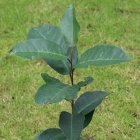 Prunus africana sapling