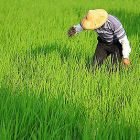 Man in rice field, Taiwan