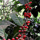 ripe coffee beans