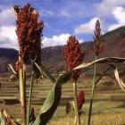 Sweet sorghum, a crop that can be used to produce bioethanol