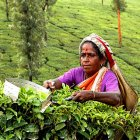Woman plucking tea leaves