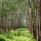 Thailand rubber plantation