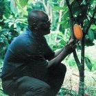 The IAEA's work in developing nations includes helping Ghana develop disease resistant cocoa trees.