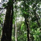looking up at rainforest canopy