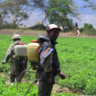 Using pesticides in Ngarenanyuki, Tanzania