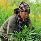 Vietnamese farmer, Flickr CIAT by Neil Palmer