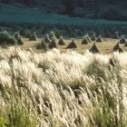 Scientists could transfer new genes into cultivated wheat crops