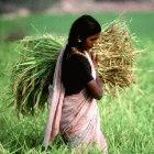 Harvesting rice in India