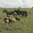 Wildlife and domestic animals share the plains of the Kajiado